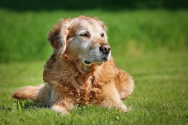 Golden retriever Hund – Foto