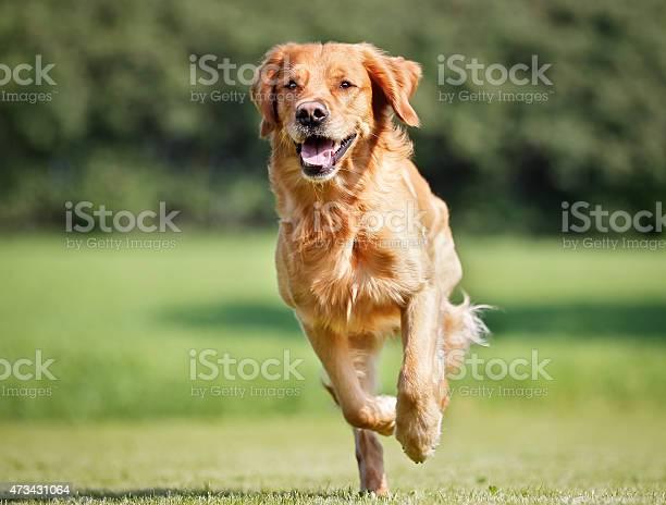 Golden retriever dog picture id473431064?b=1&k=6&m=473431064&s=612x612&h=xguyt sqwenm6hfd1o7vuzudpsfpsd2o7txgbs8r ra=