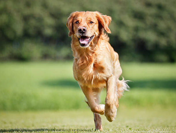 Golden retriever dog Purebred Golden Retriever dog outdoors on a sunny summer day. retriever stock pictures, royalty-free photos & images