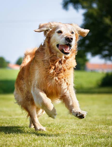Golden retriever dog picture id500793457?b=1&k=6&m=500793457&s=612x612&w=0&h=6ad cababcl7rv7c5wsdvqiu0dvaw30ngdjxidcmqns=