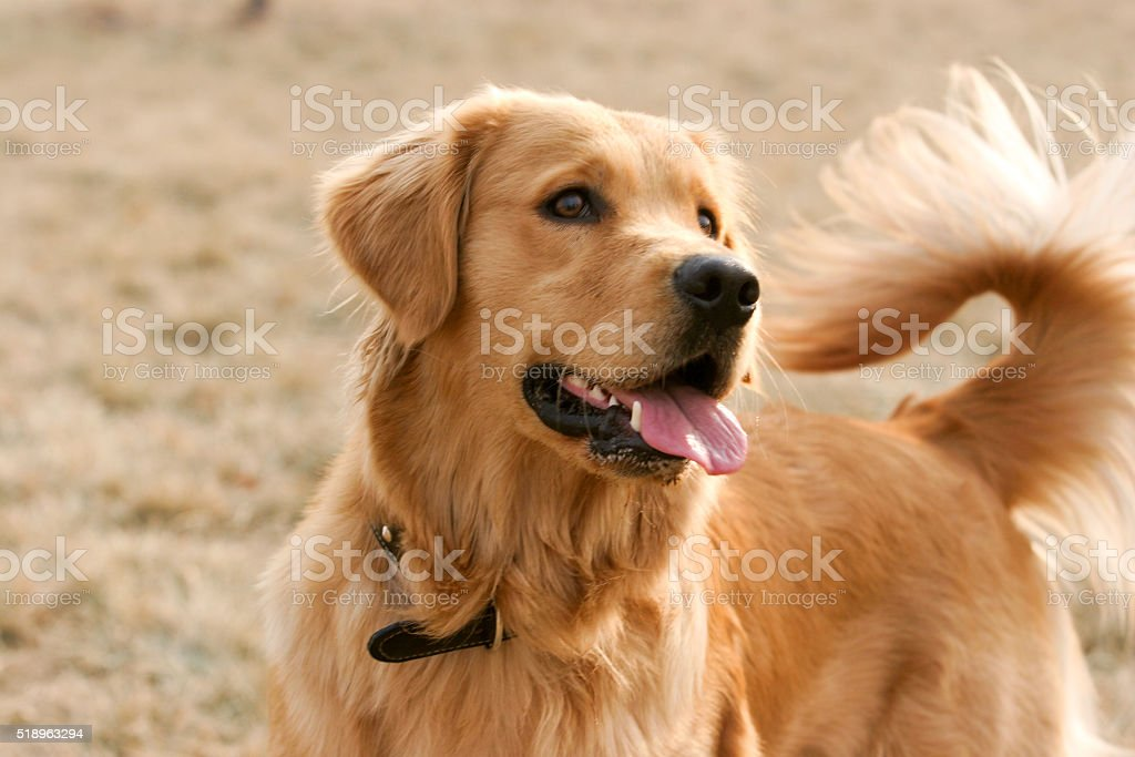 K 9 Golden Retriever Royalty Free Golden Re...
