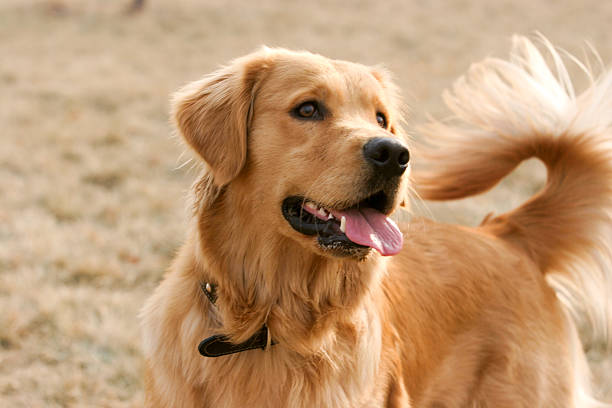 dogs similar to golden retriever top 60 golden retriever stock photos pictures and images 7125