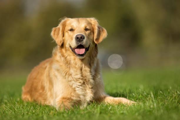golden retriever pies - golden retriever zdjęcia i obrazy z banku zdjęć