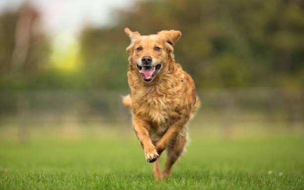 Golden retriever dog picture id669092206?b=1&k=6&m=669092206&s=612x612&w=0&h=uhqyhrgbaaqy1ftccxz0gge15ux7fddr69yepekoel4=
