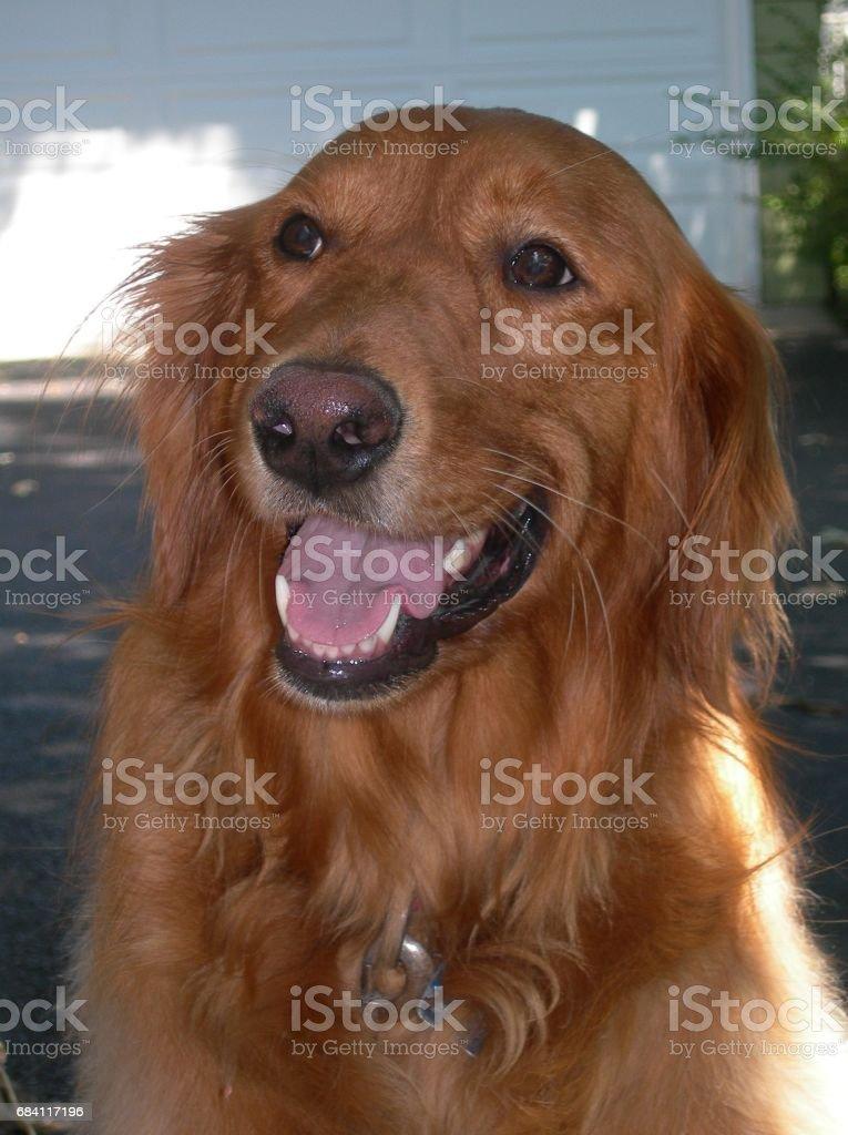 Golden Retriever Dog royaltyfri bildbanksbilder