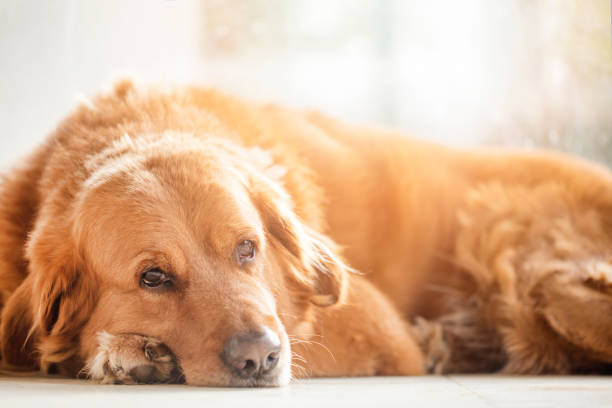 Golden retriever Hund  – Foto