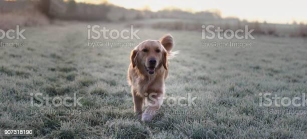 Golden retriever dog picture id907318190?b=1&k=6&m=907318190&s=612x612&h=fjdv 1vzenkwoejyraksiyazlyztvqbw1pnrvgqzfcg=