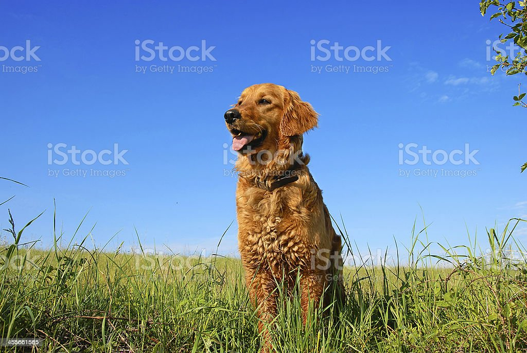 Golden retriever dog portrait stock photo