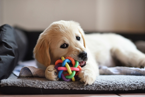 Golden retriever dog puppy playing with toy while lying on den