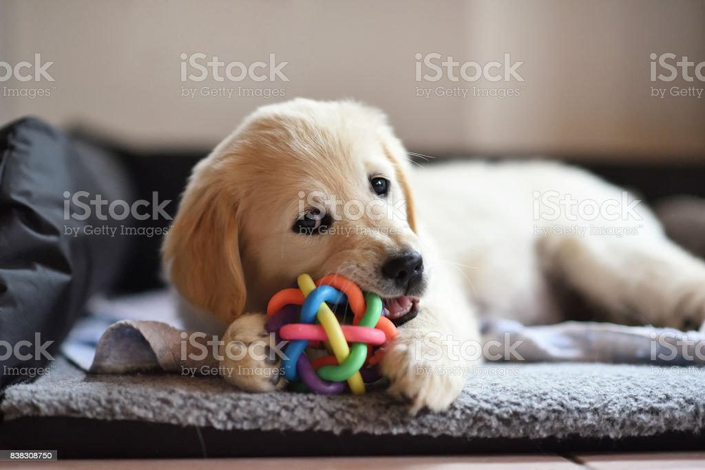 Golden retriever dog puppy playing with toy stock photo