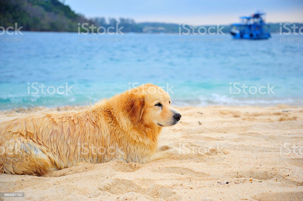 Golden Retriever Dog Relaxing on Beach royalty-free stock photo