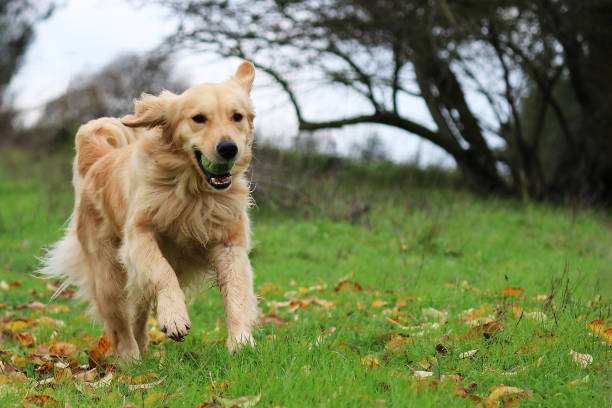golden retriever dog running in a field with a ball in her mouth - golden retriever stock photos and pictures