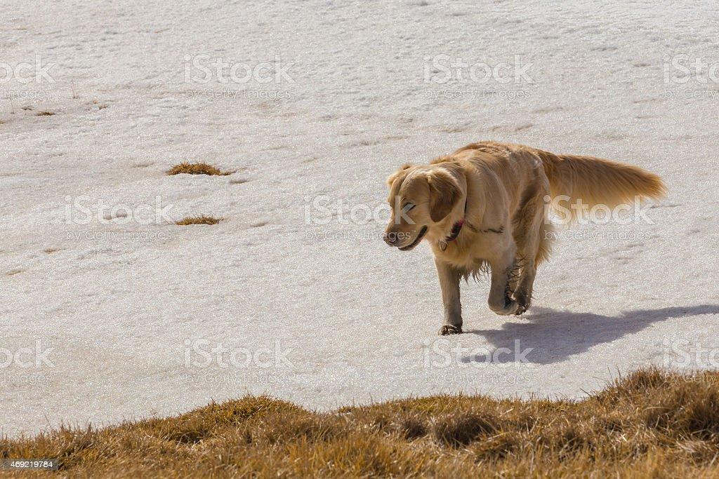 Golden retriever dog running on snow stock photo