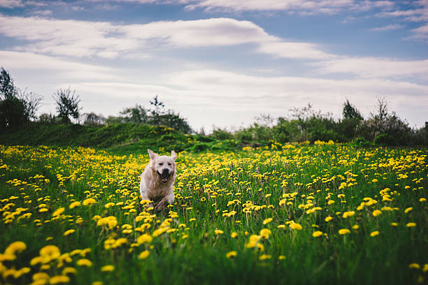 Golden retriever dog running through dandelion meadow picture id523033240?b=1&k=6&m=523033240&s=612x612&w=0&h=k9s5slvb0cmqymrhhqhgfi5wuoihgfuhyzyc0uuoq58=