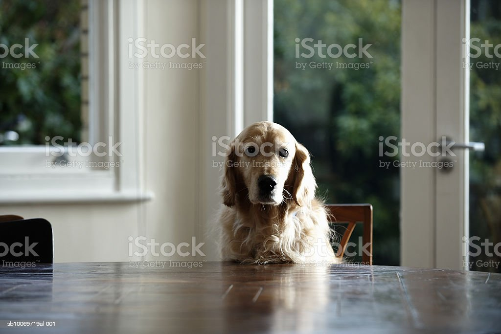 Golden retriever dog sitting at dinning table, looking away royalty-free stock photo