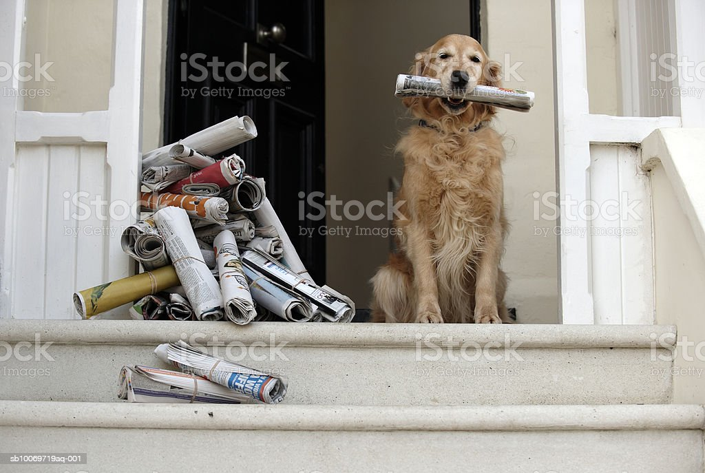 Golden retriever dog sitting at front door holding newspaper royalty-free stock photo