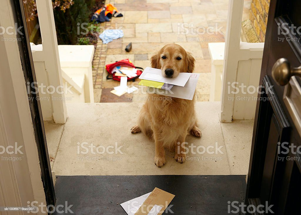 Golden retriever dog sitting at front door with letters in mouth  Animal Themes Stock Photo