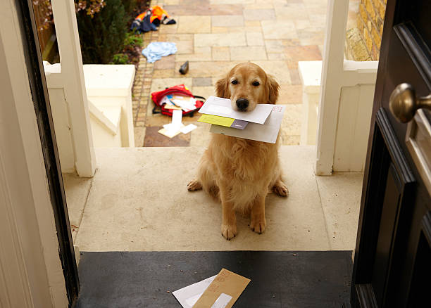 Golden retriever dog sitting at front door with letters in mouth stock photo