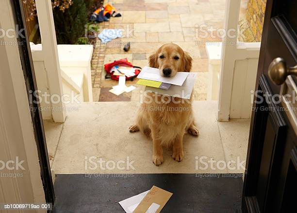 Golden Retriever Dog Sitting At Front Door With Letters In Mouth Stock Photo - Download Image Now
