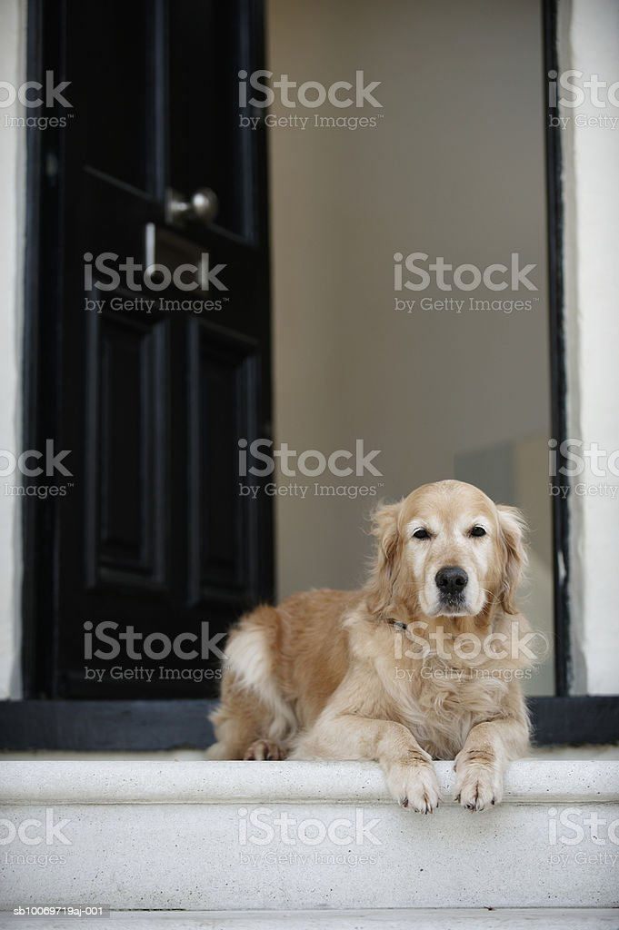 Golden retriever dog sitting in front door of house, looking away royalty-free stock photo