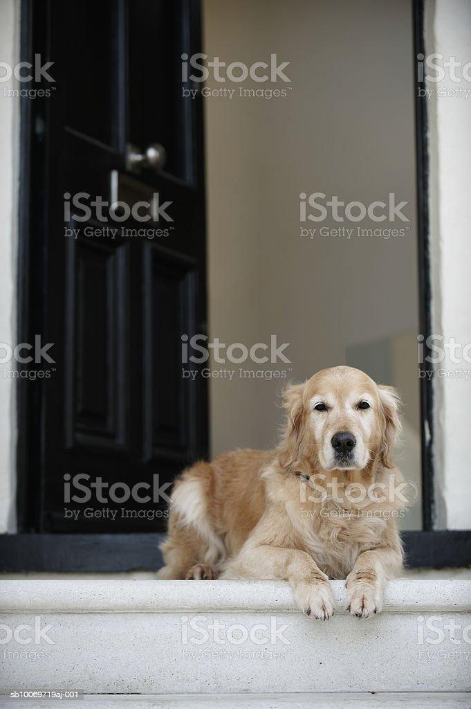 Золотой ретривер собака, сидящая в двери отеля Стоковые фото Стоковая фотография