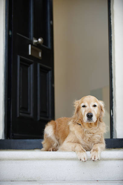 Golden retriever dog sitting in front door of house, looking away stock photo
