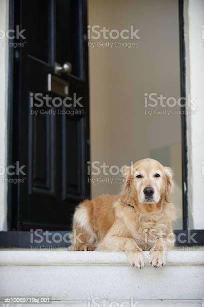 Golden Retriever Dog Sitting In Front Door Of House Looking Away Stock Photo - Download Image Now