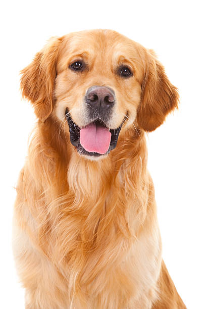 golden retriever dog sitting on isolated white purebred golden retriever dog sitting on isolated white background retriever stock pictures, royalty-free photos & images