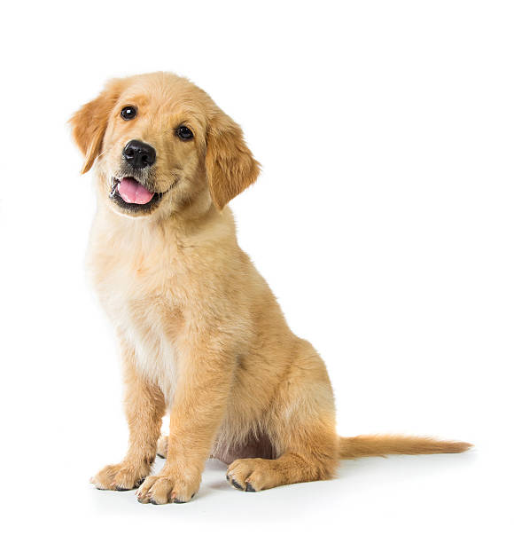 Golden Retriever dog sitting on the floor Portrait of a cute Golden Retriever dog sitting on the floor, isolated on white background retriever stock pictures, royalty-free photos & images
