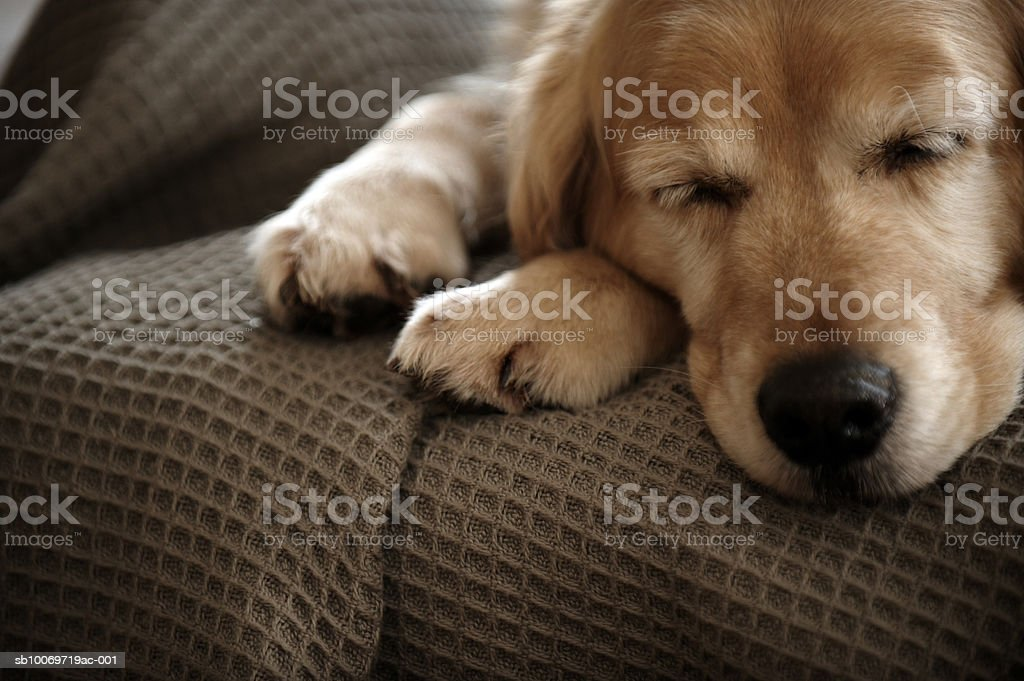 Golden retriever dog sleeping on sofa, close-up royalty-free stock photo