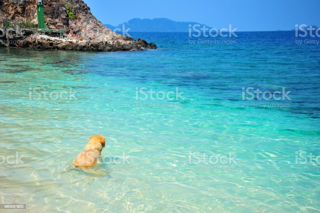 Golden Retriever Dog Swimming on Beach royalty-free stock photo