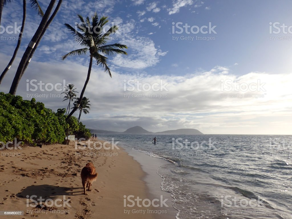Golden Retriever Dog walks along beach with tail waging stock photo