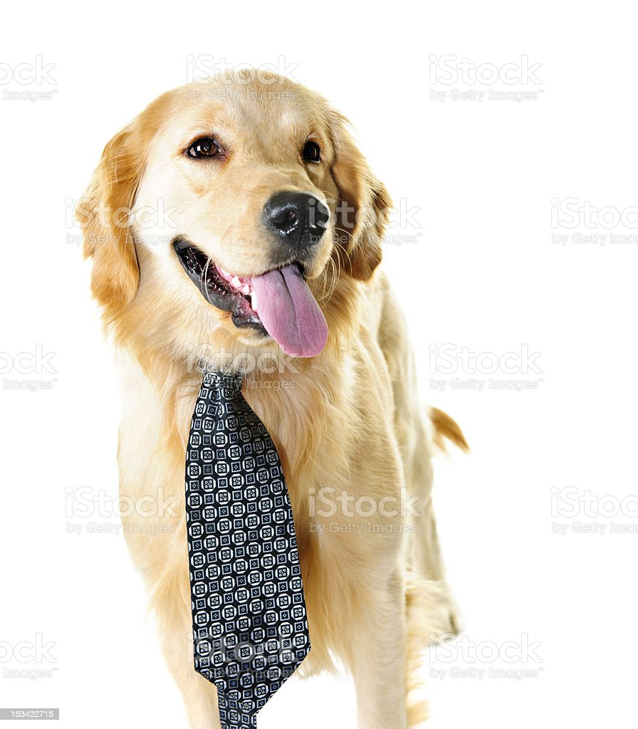 Golden retriever dog wearing a tie royalty-free stock photo