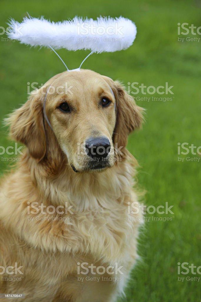 Golden retriever dog wearing angel halo headband royalty-free stock photo