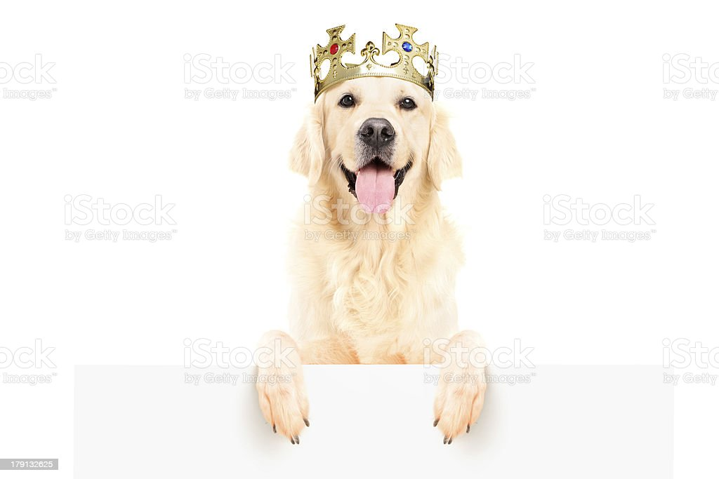 Golden retriever dog wearing crown on a panel stock photo