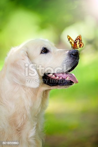Golden retriever dog with butterfly in the park