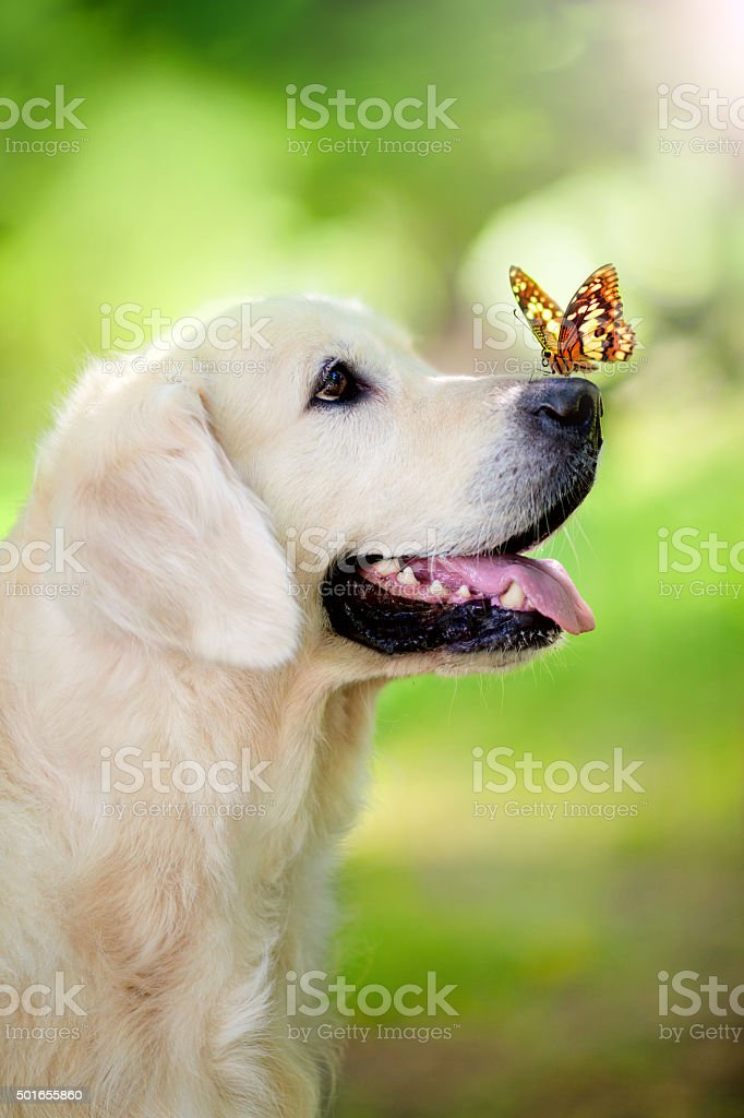 Golden retriever dog with butterfly stock photo