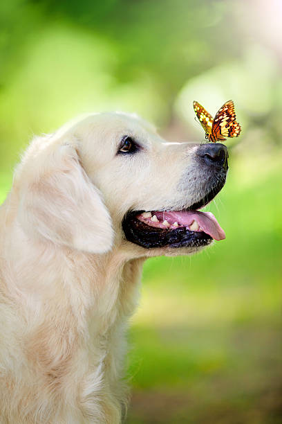 Golden retriever dog with butterfly Golden retriever dog with butterfly in the park fine art portrait stock pictures, royalty-free photos & images
