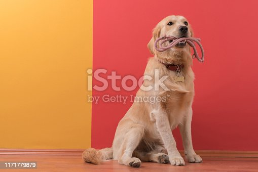 Golden retriever dog with collar