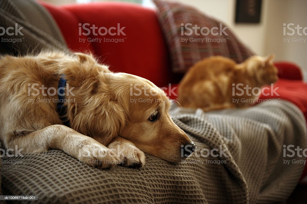 Golden retriever dog with ginger tabby cat resting on sofa (focus on foreground) royalty-free stock photo