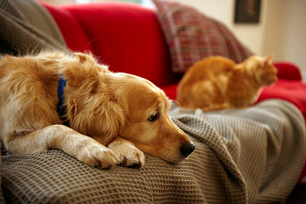 Golden retriever dog with ginger tabby cat resting on sofa (focus on foreground) stock photo