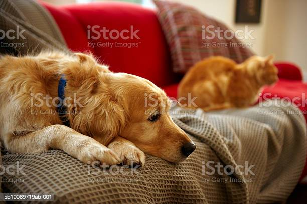 Golden Retriever Dog With Ginger Tabby Cat Resting On Sofa Stock Photo - Download Image Now
