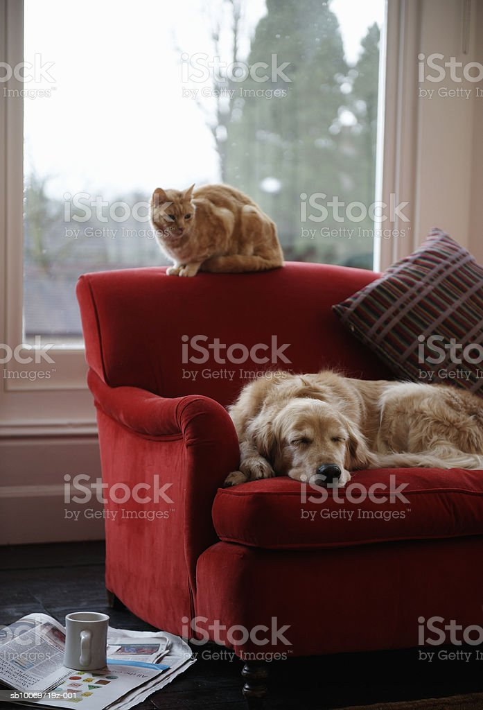 Golden retriever dog with ginger tabby cat resting on sofa royalty-free stock photo