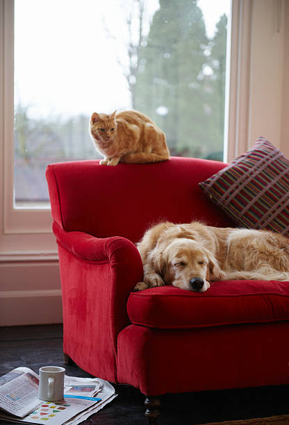 Golden retriever dog with ginger tabby cat resting on sofa picture idsb10069719z 001?b=1&k=6&m=sb10069719z 001&s=612x612&w=0&h= unf3xjoivaq1y59cpavydfcdt ypyqxzcxecp8tgk4=