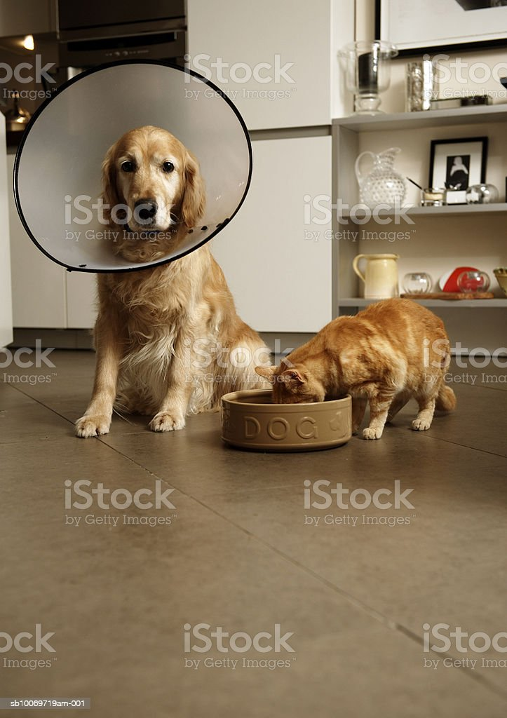 Golden retriever dog with medical collar sitting next to ginger tabby cat eating out of dog's food bowl royalty-free stock photo