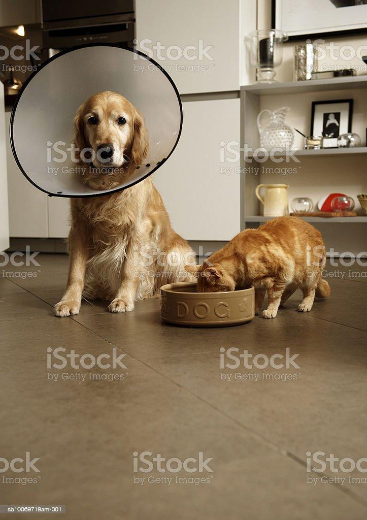 Perro Labrador dorado con collarín médico junto a la sala de estar ginger foto de stock libre de derechos