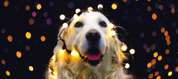 golden retriever hund mit rotem hut - silvester mit hund stock-fotos und bilder