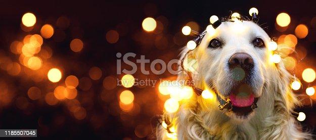 Close up of adorable golden retriever dressed as santa claus