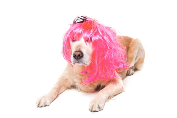 golden retriever dog with wig stock photo