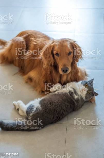 Golden retriever dogs and british shorthaired cats lie on the ground picture id1135928965?b=1&k=6&m=1135928965&s=612x612&h=imrcvheddreeyt 9kwz5la vtngynbdyhxw2zaqqlcy=